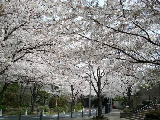 2013年桜 001