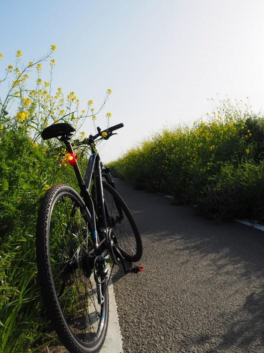 石川 菜の花 自転車