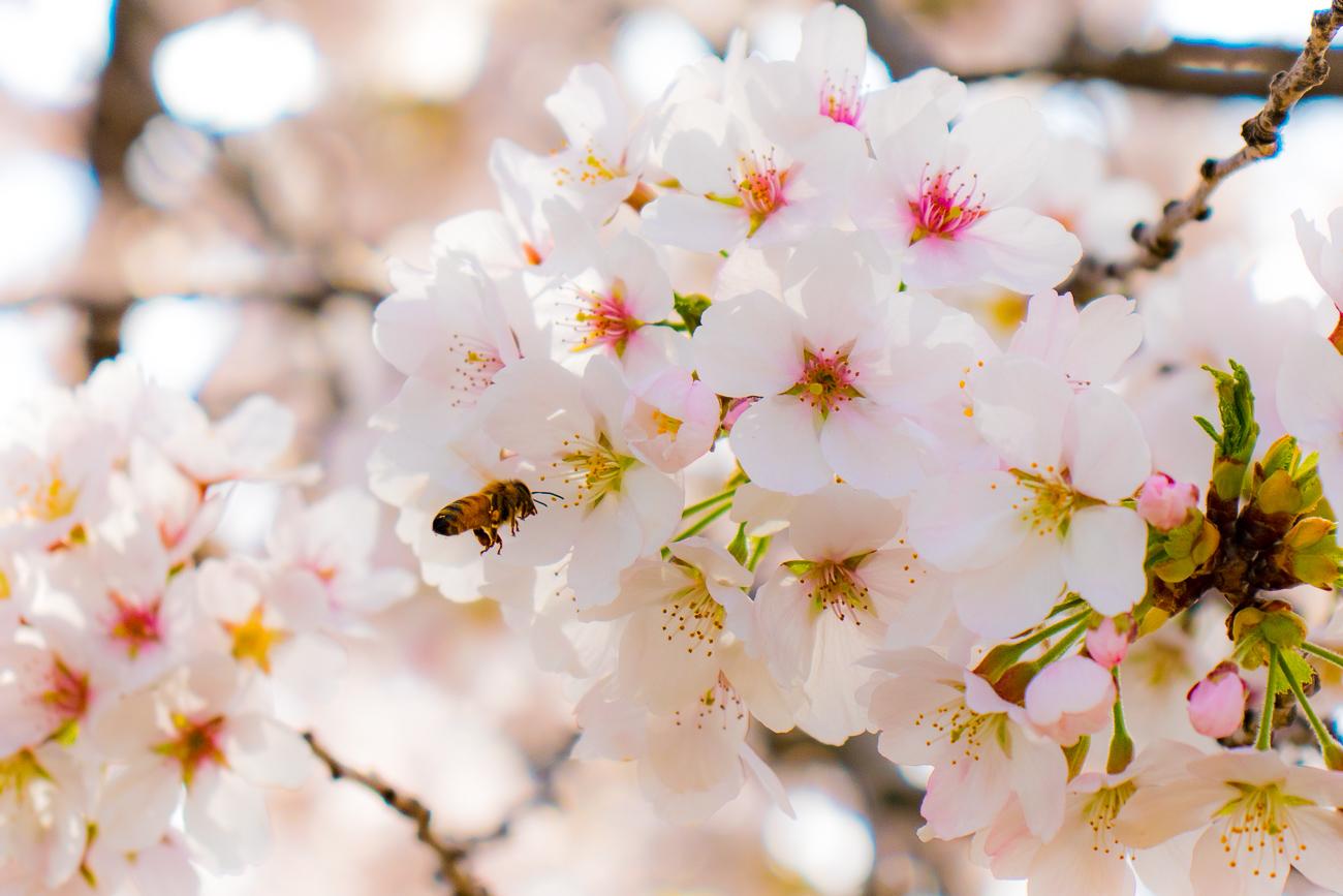 [イベント紹介]お花見しながらサイクリングしませんか?「桃と桜のサイクリング」エントリー受付中!