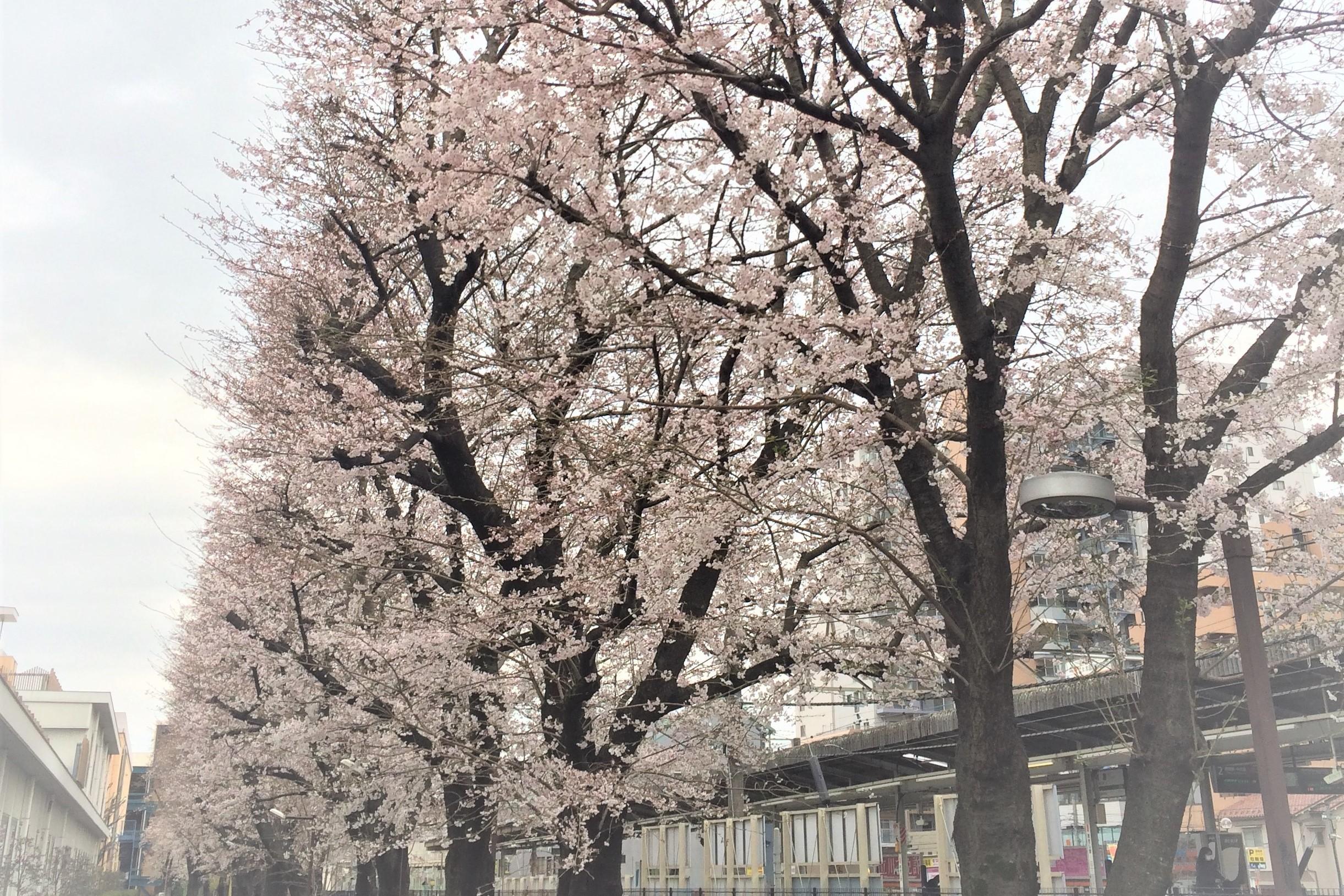 桜の季節に、オススメのサクラ色のバイク
