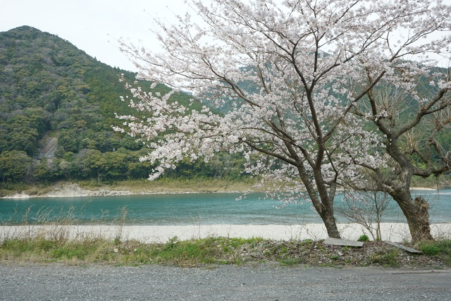 桜と熊野川