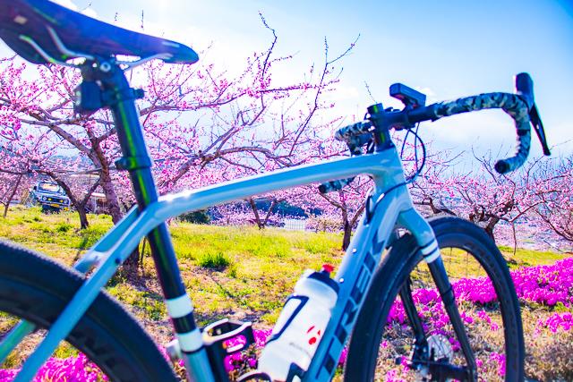 八代ふるさと公園_桜