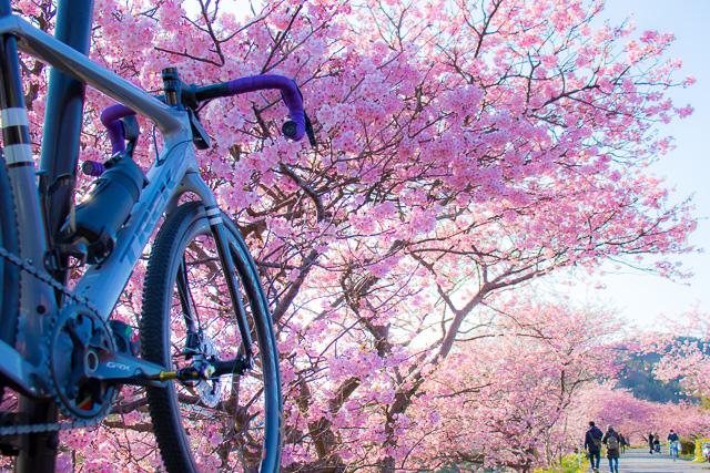 自転車でお花見♪ 南伊豆で河津桜ポタリングしてきました